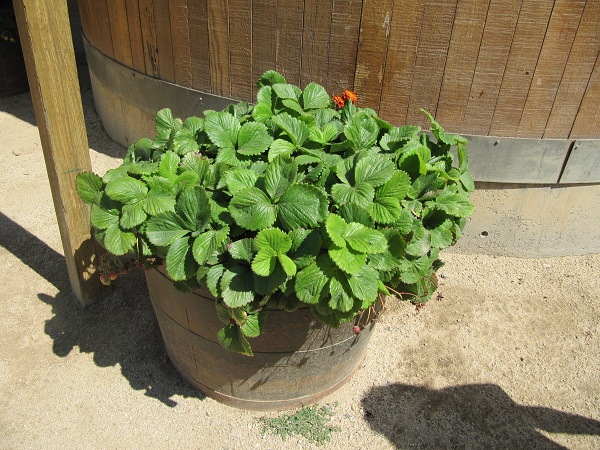 Strawberries grow in large pots around Centennial Farm.