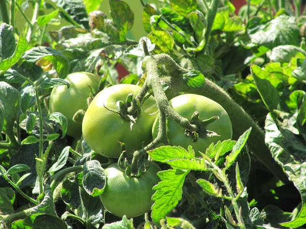 Although tomatoes ripen on the vines in Centennial Farm, you are not allowed to pick them!