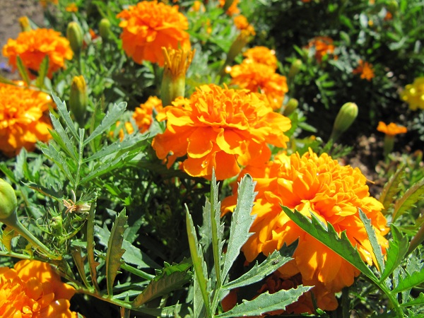 Marigolds ward off pests at Centennial Farm.