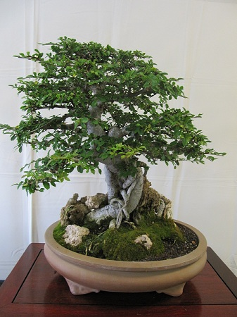 This Chinese elm bonsai and many others were displayed by a local bonsai club.