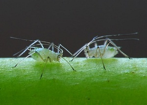 Common Insect Pests