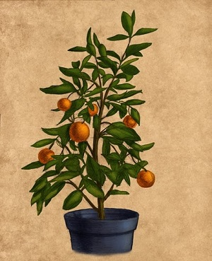 Dwarf orange citrus tree
