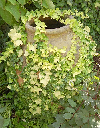 English Ivy Buttercup variety