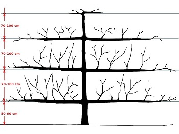 Espalier tree growth