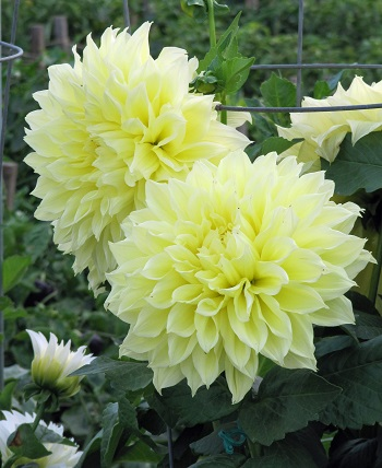 Formal Decorative Yellow Dahlia