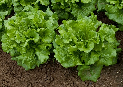 Lettuce fall vegetable leaf crop