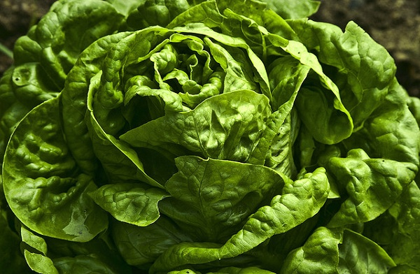 Lettuce plant vegetable garden