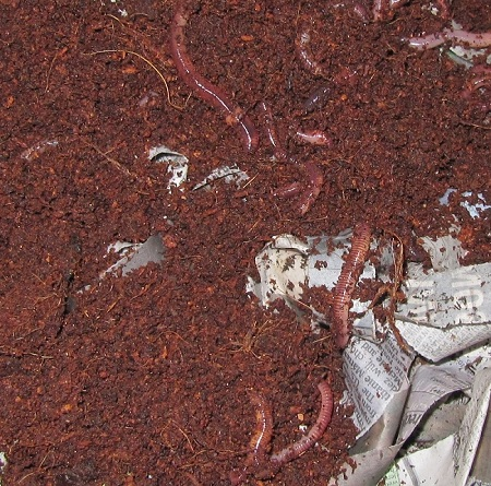 Red Worm Compost