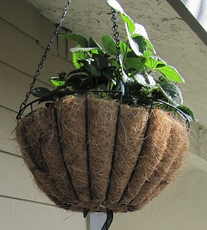 Strawberries in hanging container