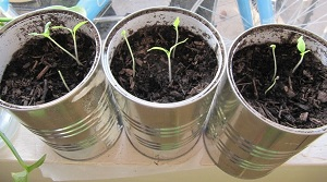 Tomato sprouts in recycled metal containers