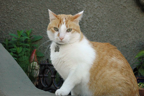 Orange and white cat garden gnome