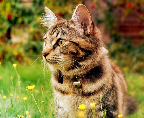 Beautiful cat with bell collar in a backyard garden