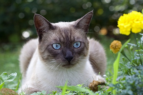 Cat with blue eyes and yellow flower