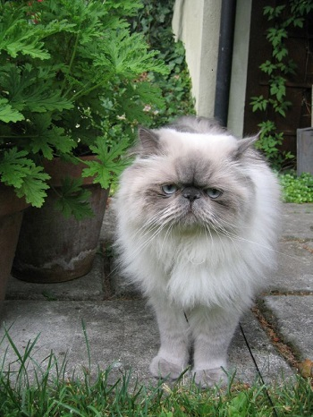Persian cat in container garden