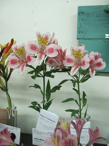 Alstroemeria Flowers OC Fair