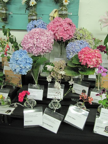 Hydrangea Flowers at OC Fair