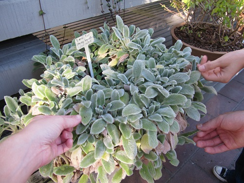 Lamb's ear touch plant