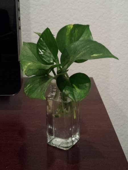 Pothos leaves in a vase