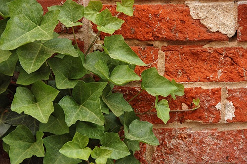 Hedera helix English ivy wall