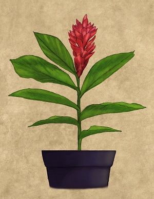 Red ginger Alpinia purpurata