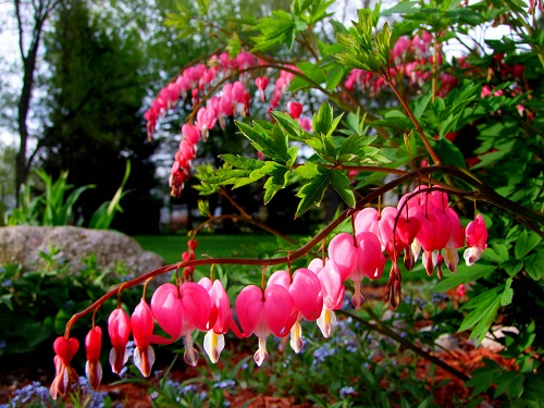Bleeding Heart Flower Bleeding Heart Flowers