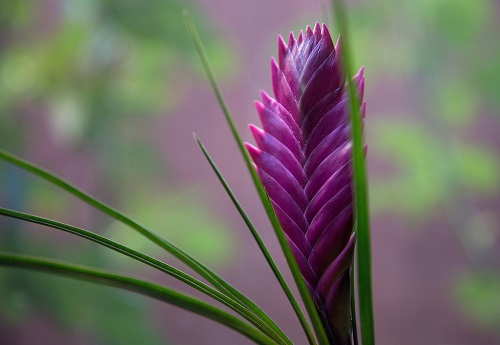 Purple bromeliad flower