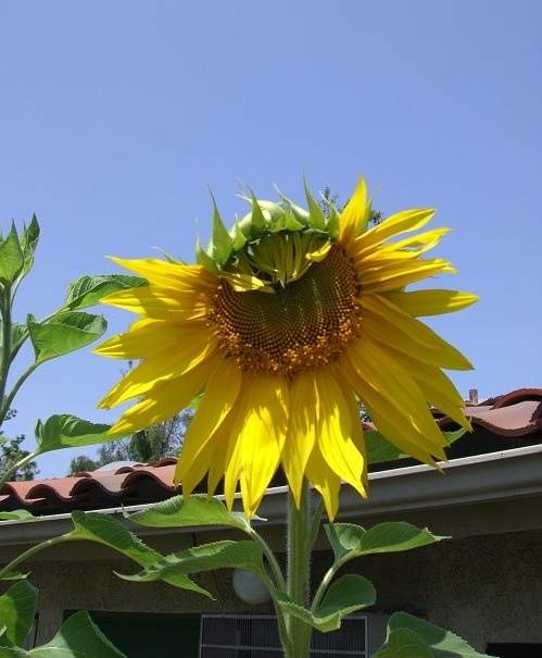 Container plant sunflower