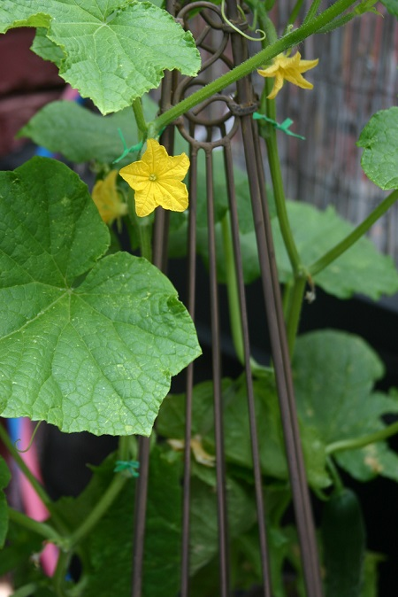 Cucumber vine flower