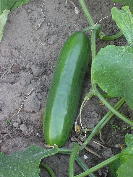 Cucumber plant fruit