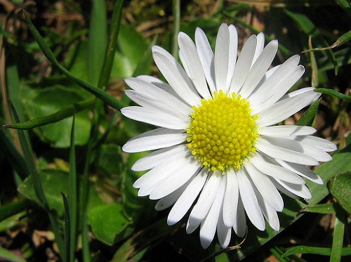 White Common Daisy Flower
