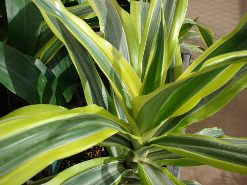 Dracaena striped leaves