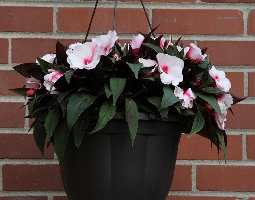 Impatiens flowers basket