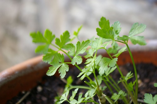 Parsley container plant