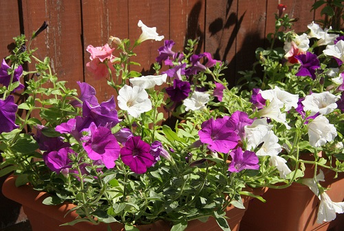 Petunia Flowers in Containers