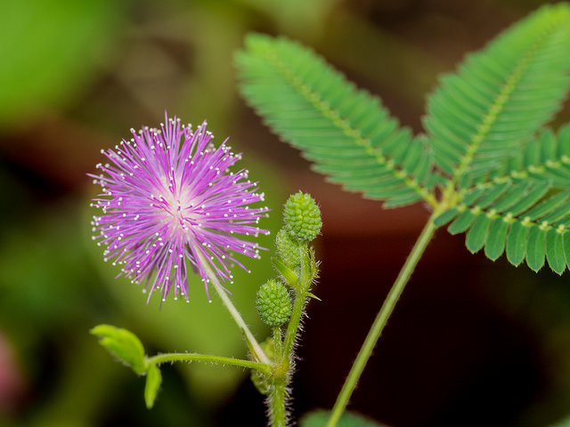 Sensitive Plant Purple Flower