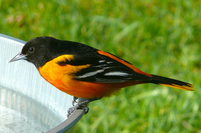 Baltimore oriole bird