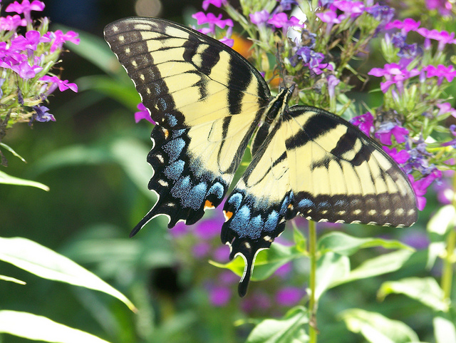 Swallowtail Butterfly on Phloz